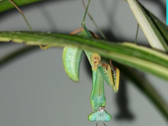 hierodula sp.papua