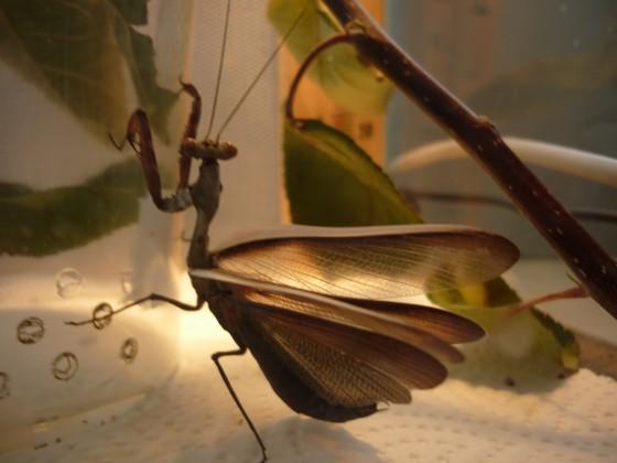 Parasphendale affinis