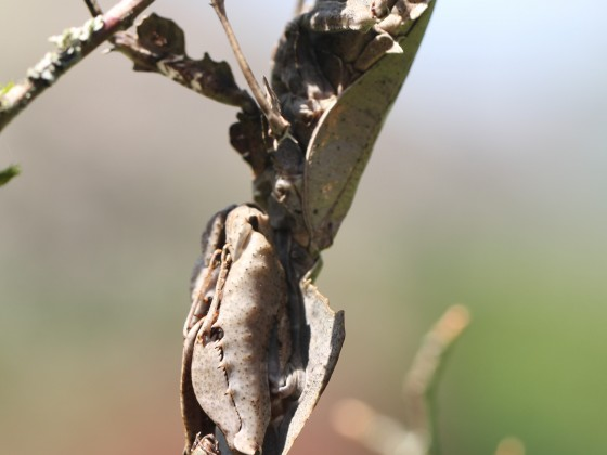 Parablepharis kuhlii asiatica