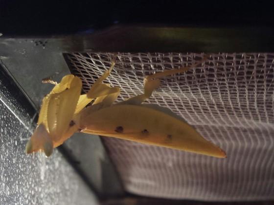Parymenopus Davisoni (Weibchen)