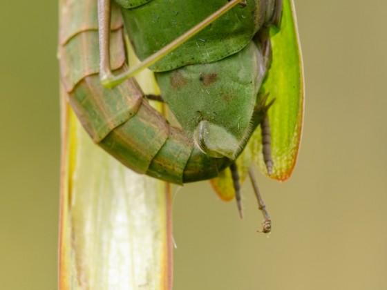 Mantis religiosa-Der Liebesgriff