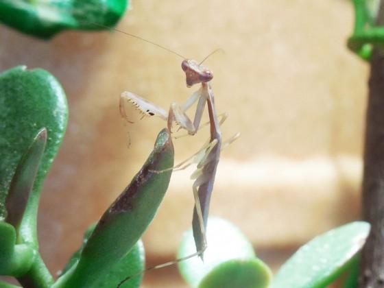 Polyspilota cf. aeruginosa