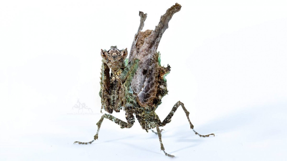 Pseudacanthops lobipes IGM-Nr. 310