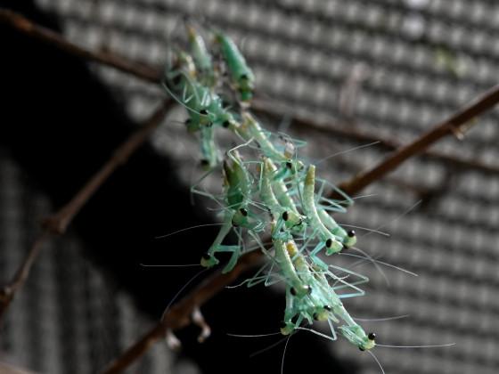 Hierodula quinquepatellata (IGM 288)