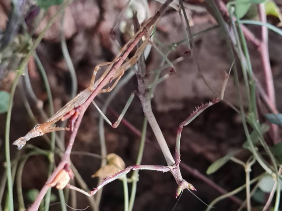Heterochaeta orientalis L7