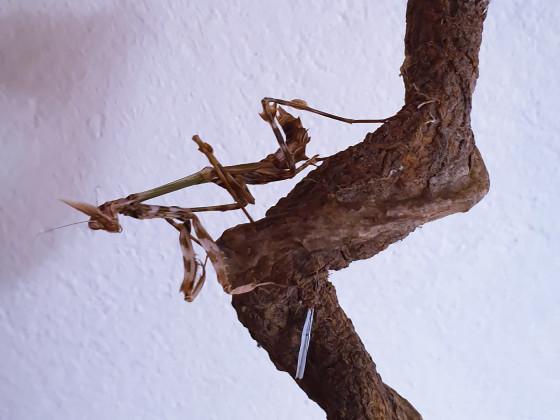 Zoolea lobipes subadult