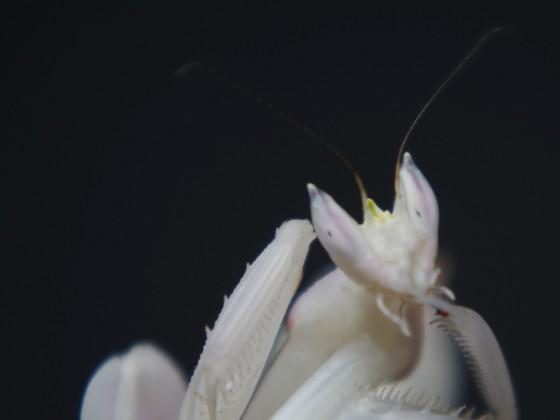 Orchideenmantis