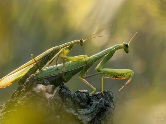 Mantis religiosa- Kopula