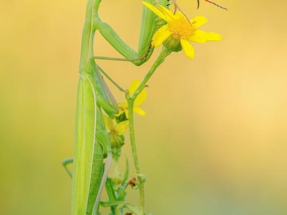 Mantis religiosa, 0.1 adult