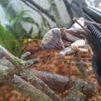 Polyspilota griffinii / aeriginosa Weibchen
