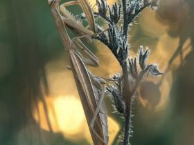 Mantis religiosa 0.1adult