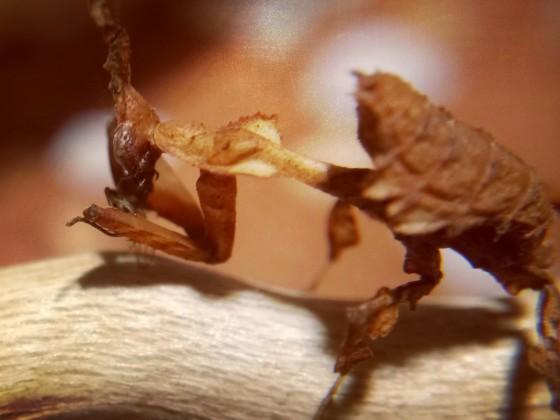 Phyllocrania paradoxa Männchen frisst Drosophila
