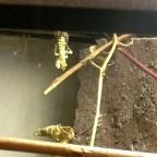L5 Häutung Männchen