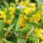 Mantis Religiosa im Gütenbachtal gesichtet