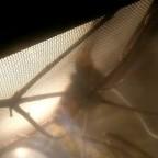 Pseudocreobotra wahlbergii frisst Schmetterling