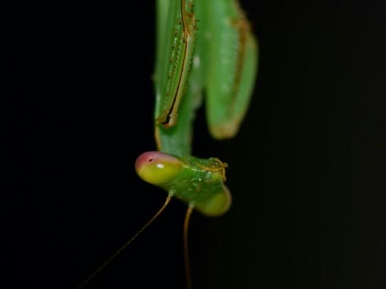 Macromantis sp. L4