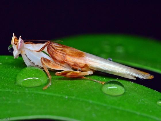 Hymenopus coronatus 1.0 adult