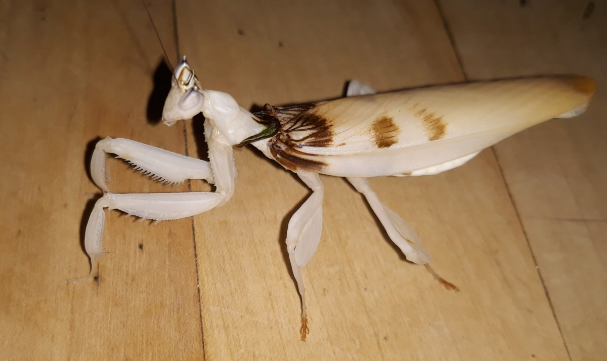 Hymenopus Coronatus  Adult