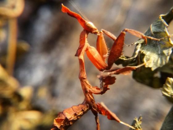 Phyllocrania paradoxa Weibchen beim Klettern
