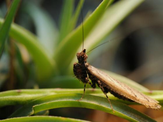 Oxypilus hamatus - frisch adultes Männchen
