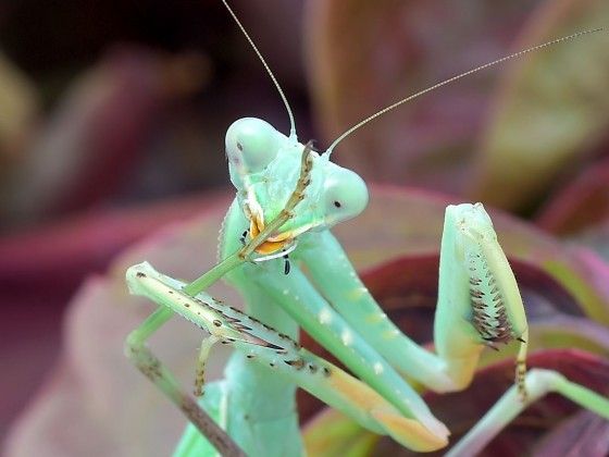 Sphodromantis viridis