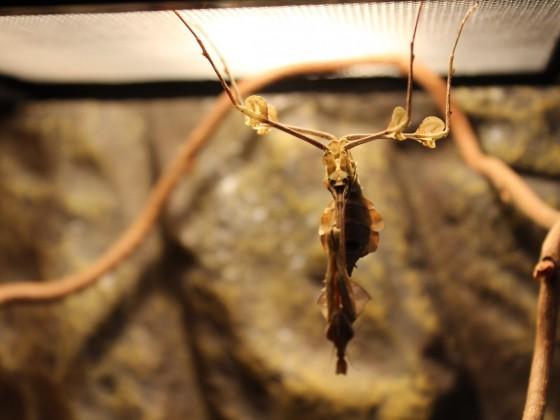 Gongylus gongylodes / subadultes Weibchen