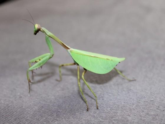 Pseudoxyops Perpulchra Adultes Weibchen