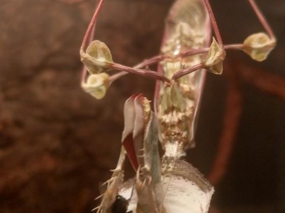 Idolomantis Diabolica mit Fliege 5 Tage nach Adulthäutung