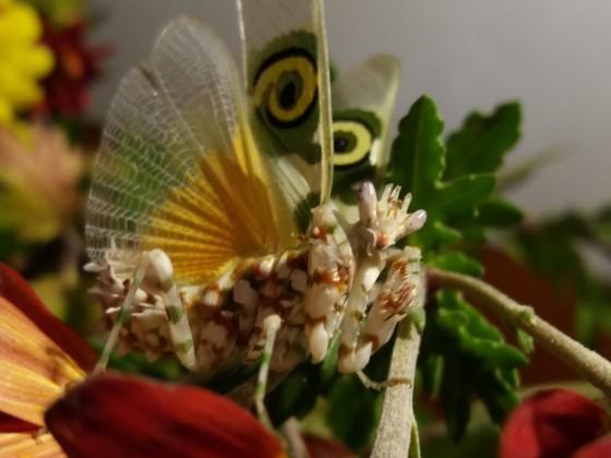 Pseudocreobotra wahlbergii, drohend