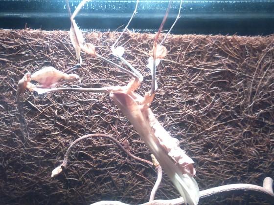 Mein Gongylus gongylodes Männchen wenige Minuten nach der Adulthäutung