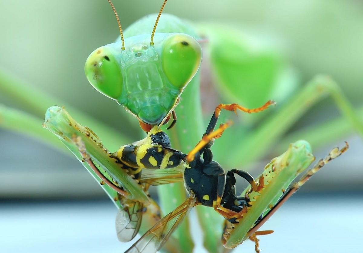 Hierodula spec eating a Wasp