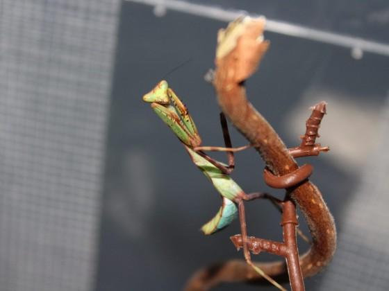 Pseudoxyops Perpulchra (Weibchen) prä-subadult