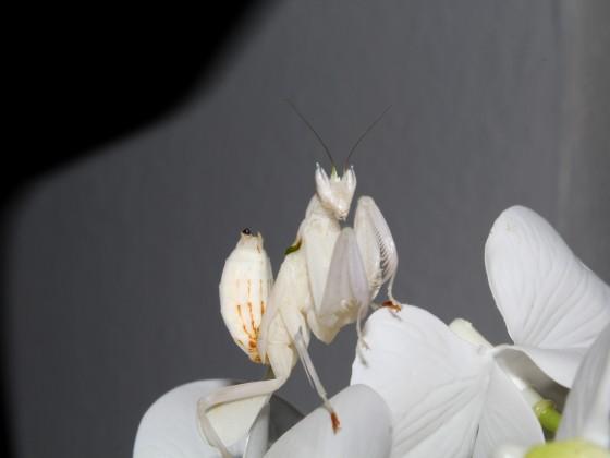 Hymenopus coronatus