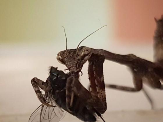 Pseudovates mit Fliege