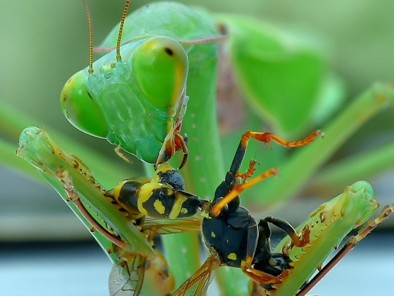 Hierodula spec eating a Wasp
