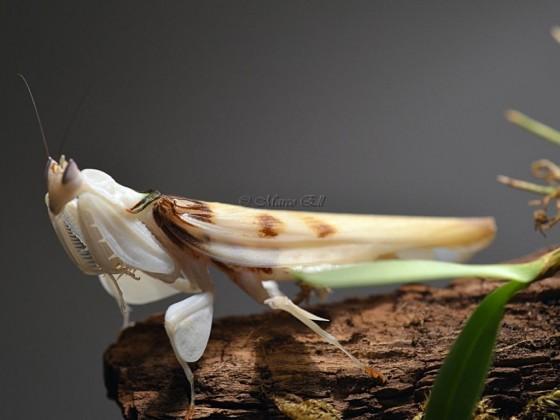 0.1 Hymenopus coronatus adult
