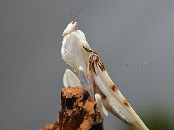 0.1 Hymenopus coronats adult